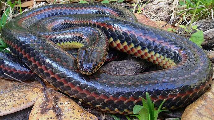 Rainbow-Snake-Tracey-Cauthen-Florida-Wildlife-Commission