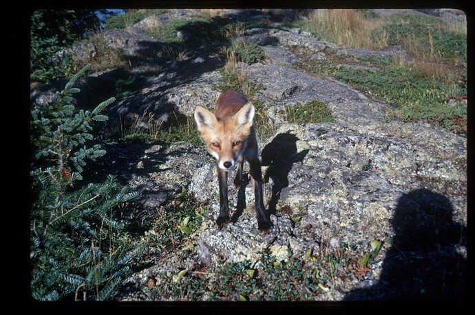 44 Fox, thief who stole my leather light meter case, Scoville Pt,, Isle Royale '69