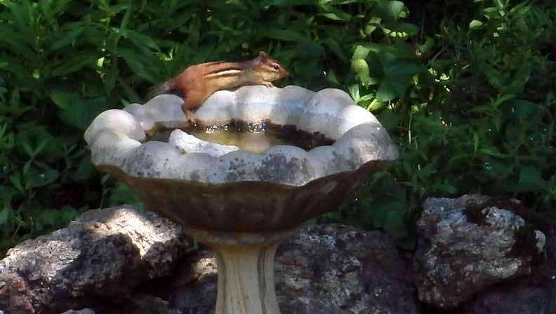 Chipmunk on birdbath (1)